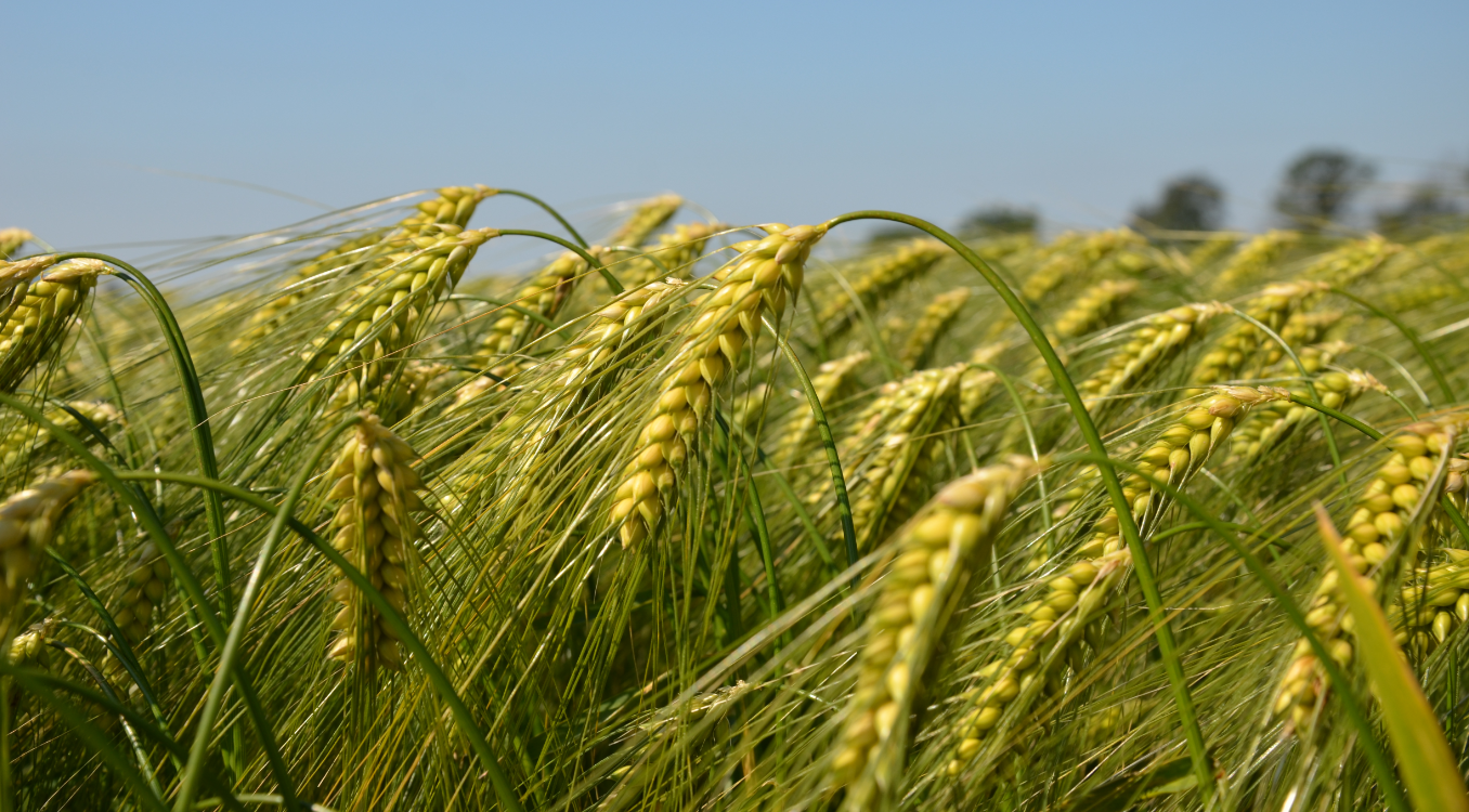 cereals wheat syngenta