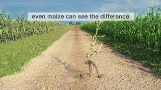 even maize can see the difference
